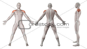 3D images showing male figure with deltoid muscles highlighted
