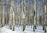 Sunny birch grove in February