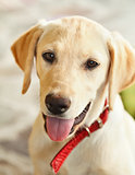 Young labrador retriever dog