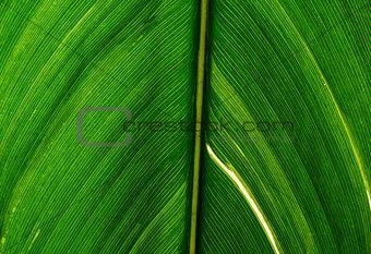 a achira leaf