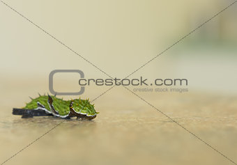 Citrus Swallowtail Caterpillar Crawling over Obstacle with Copy