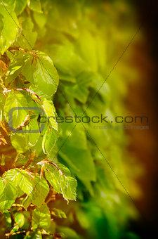 Green Leaf  Fence