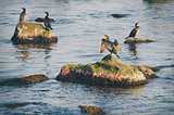 Cormorants at Sea