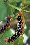 Isognathus Caricae Caterpillar