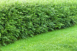 Wonder hedge bushes at the edge of lawn