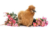 brown silkie chicken