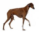 brown azawakh hound