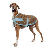 dressed azawakh hound