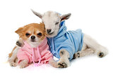 dressed young goat and chihuahua