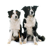 border collie and miniature australian shepherd