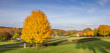 Panorama of vibrant yellow colored tree in Groesbeek