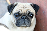 pug looking for someone