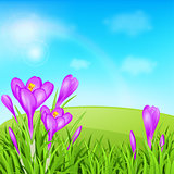 Violet crocuses and green grass