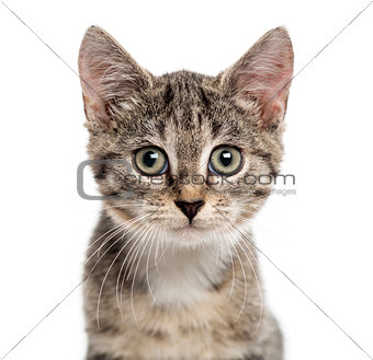 European Shorthair kitten looking the camera, isolated on white