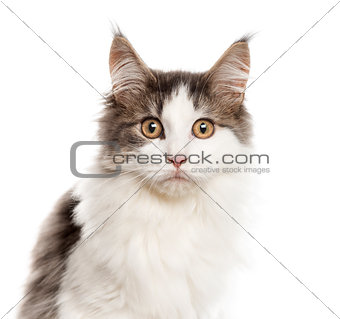 Close up of a Maine Coon, isolated on white