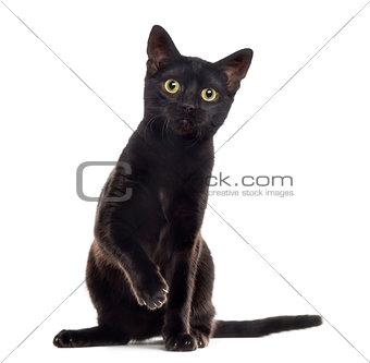 Black cat kitten with a paw up, isolated on white