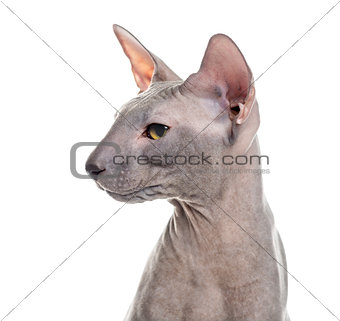 Close up profile of a Peterbald isolated on white