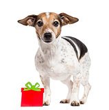 Jack Russell Terrier with a gift box isolated on white