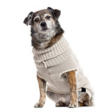 Crossbreed dog dressed isolated on white