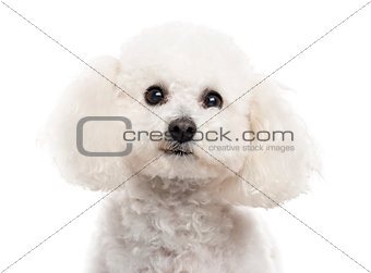 Close up of a Bichon Frise isolated on white