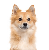Close up of a Pomeranian isolated on white