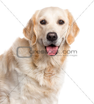 Close up of a Golden Retriever, isolated on white