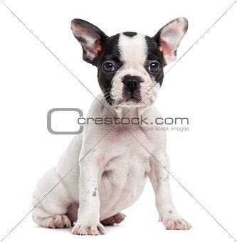 French Bulldog puppy looking at the camera, isolated on white