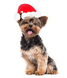 Yorkshire Terrier with a santa claus hat, isolated on white