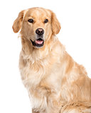 Golden Retriever sticking the tongue out, isolated on white