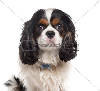 Cavalier King Charles Spaniel isolated on white