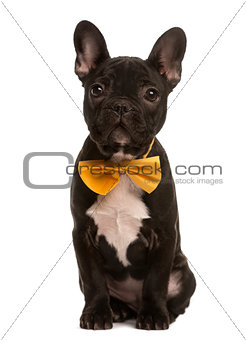 French Bulldog with a bow sitting, isolated on white