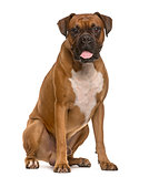 Boxer sticking the tongue out, isolated on white