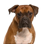 Close up of a Boxer isolated on white