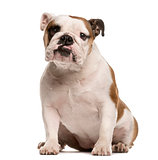 English Bulldog looking at the camera, isolated on white