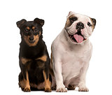 English Bulldog and Crossbreed puppy, isolated on white