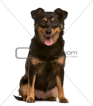 Crossbreed puppy sticking the tongue out, isolated on white