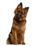 German shepherd looking at the camera, isolated on white
