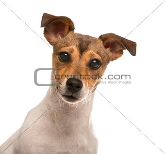 Close up of a Jack Russel isolated on white