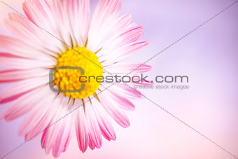 Beautiful pink deisy
