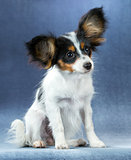 Funny Puppy Papillon