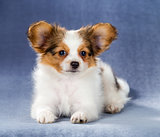Cute Papillon puppy lying