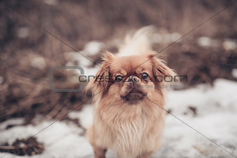 Adult Pekingese dog posing on a nature winter background walking outdoors