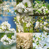 Collection of beautiful spring blossoming plum tree closeups