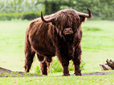 Highland cattle bull