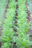 Carrot garden