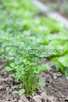 Flat parsley in a garden bed