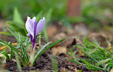 Crocus flowers in spring time