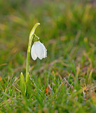Snowdrop flowers on filed