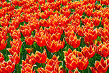 Red and yellow tulips for background.