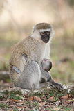 Vervet monkey with black face nursing baby